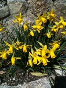 Flores- Narcisos- Logopress