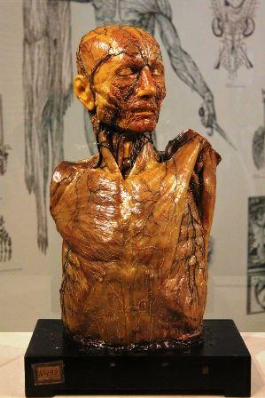 Modelo anatómico de cera UCM en el Museo de la Evolución Humana