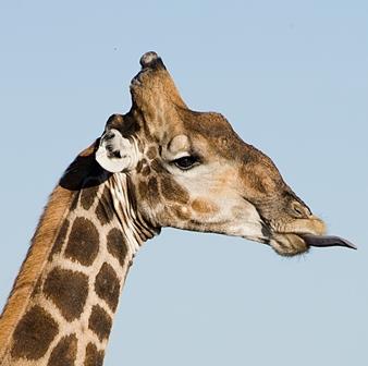 CSIC Girafas 3