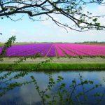 51643_fullimage_bollenveld noord-holland – high_rgb_2138_560x350