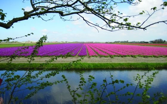51643_fullimage_bollenveld noord-holland - high_rgb_2138_560x350