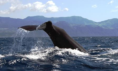 721copyrigth terra azul azores whale watching (22) sperm whale tale1333550033