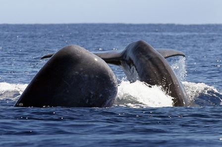 fayaltheazores-sidebarfaial-whale-watching