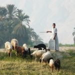 shepherd-1534713